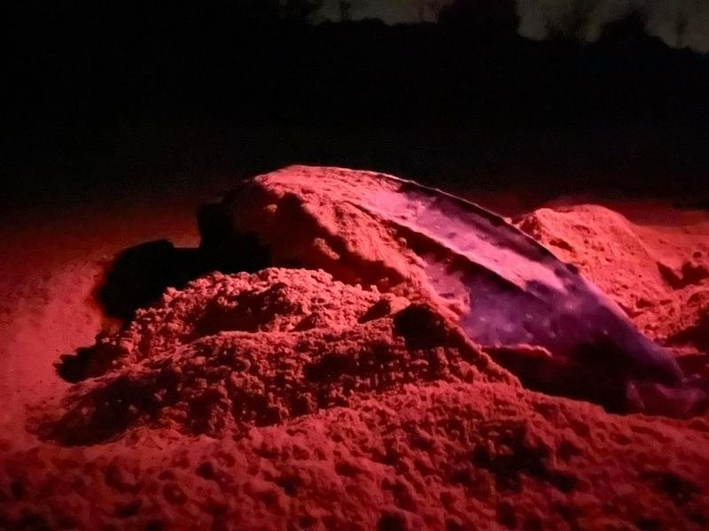 The large leatherback turtle that laid a nest on Thai Muang Beach in Phuket Nga last night (Feb 7) is believed to now have laid five nests in the area since laying its first nest on Kata Beach on Jan 1. Photo: Jan 1
