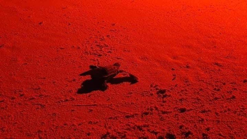 A baby leatherback turtle makes its way across the sand at Kata Beach last night (Feb 27). Photo: DMCR
