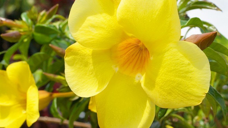 Green Thoughts: Going for Gold ‒ the Allamanda